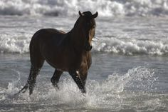 Bay Andalusian Stallion In The Surf Photograph by Carol Walker - Bay Andalusian Stallion In The Surf Fine Art Prints and Posters for Sale