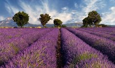 Buy Lavender field in Provence, France by akarelias on PhotoDune. Image shows a lavender field in the region of Provence, southern France, photographed on a windy afternoon Lavender Fields France, French Lavender Fields, The Places Youll Go, Places To See, La Provence France, Provance France, Field Wallpaper, Photo Wallpaper, Vinyl Wallpaper