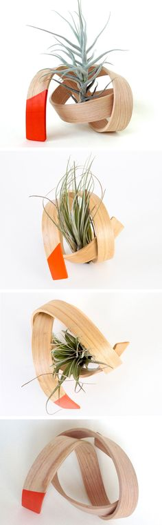 Bentwood air plant