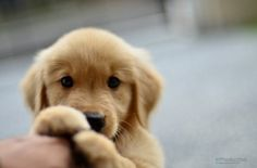 Golden retriever puppy. painfully cute.