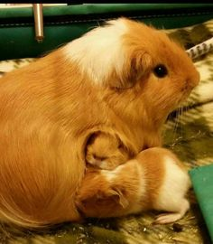Baby Guinea Pigs! Too cute!