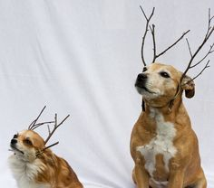 Reindog Christmas Card photos  Caylee the long haired Chihuahua and Piglet the Staffy/Jack Russell cross