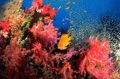 #coral reef with #yellow #fish