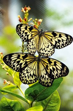 Amazing butterflies - Two Beauties In a Perfect World