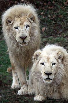 ~~Cincinnati Zoo ... Future & Sunshine ~ White Lions by Connie Lemperle~~