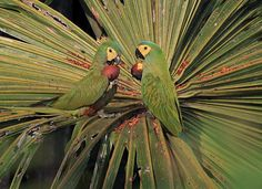 Red-bellied Macaws (Orthopsittaca manilata) from our Flickr pool, by Anselmo d'Affonseca