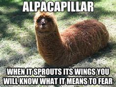 alpacapillar! BAHA!