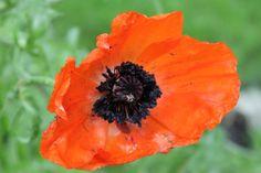 Poppy - summer 2012