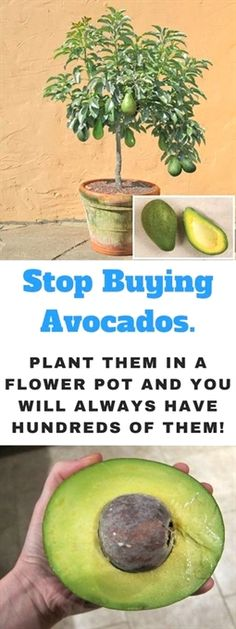 Avocados are considered one of the healthiest and tastiest fruits on the planet. Its rich, creamy inside is filled with nutrition and flavor. Avocado (Persea americana) is a native fruiting tree of Mexico and Central America. Herb Garden, Garden Plants, Fruit Garden, Box Garden, Garden Weeds, Garden Container, Container Gardening Vegetables, Garden Fun, Garden Stakes