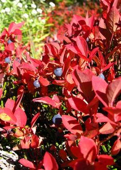 shrubs-colorful-fall-foliage--gardenista-4 hrs. of sun and acid soil :blueberry