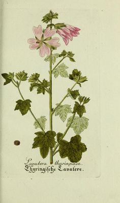 Jarhg.8 (1794) - Plantarum indigenarum et exoticarum icones ad vivum coloratae, oder, Sammlung nach der Natur gemalter Abbildungen inn- und ausländlischer Pflanzen, für Liebhaber und Beflissene der Botanik / - Biodiversity Heritage Library