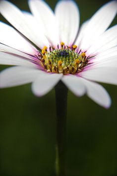 daisy by Lee251073, via Flickr