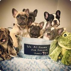 French Bulldog Puppiies