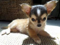 My beautiful Koko in the sun. So precious!! #Adorable #chihuahua