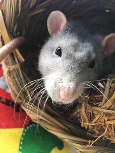 Blue my handsome lil guy!!! #aww #cute #rat #cuterats #ratsofpinterest #cuddle #fluffy #animals #pets #bestfriend #ittssofluffy #boopthesnoot