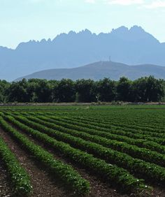 How green is my valley? CHILE GREEN! Chile field off NM Route 28 (a.k.a. the Oñate Trail). (NMSU photo by Robert Yee)