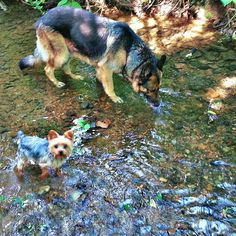 Our 4lb mascot Reef and his 100lb best friend Luka living off the land. ~~~ #cute #yorkie #terrier #dog #germanshepherd #water #nature #fun