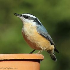 vancouver red-breasted nuthatch