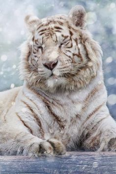 White Tiger at rest! This Tiger feels safe. Animals And Pets, Funny Animals, Cute Animals, Wild Animals, Baby Animals, Beautiful Cats, Animals Beautiful, Beautiful Pictures, Big Cats