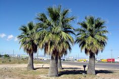 Washingtonia filifera - Palmpedia - Palm Grower's Guide