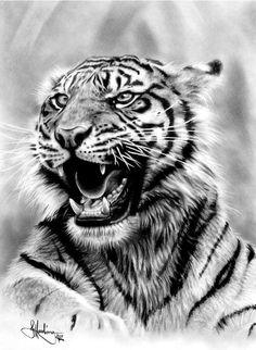 Tiger - Graphite Drawing by John Harding Kitty Drawing, Tiger Drawing, Tiger Art, Tiger Tattoo, Cat Tattoo, Animal Drawings, Pencil Drawings, Pencil Art, Graphite Drawings