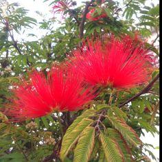 Silktree albizzia