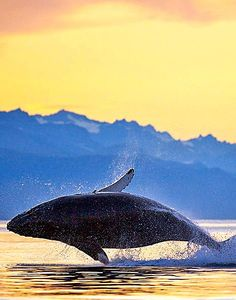 ~~Alaska Whale Watching Tours | Plan & Book your dream trip with trusted local advice. A list of day tours and excursions | Alaska.org~~
