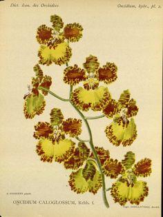 Oncidium caloglossum. Dictionnaire iconographique des orchidees: Oncidium  Bruxelles :Imp. F. Havermans, 1896-1907.  Biodiversitylibrary. Biodivlibrary. BHL. Biodiversity Heritage Library