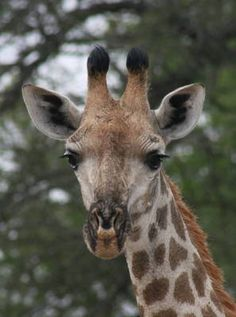 Photoalbum Album, View Photos, Giraffe, Photographs, Wildlife, My Love, Animals, Image, My Boo