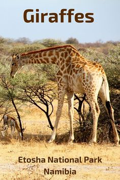Giraffes of Etosha National Park, Namibia - click for many photos and videos!