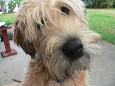 Just another great wheaten terrier haircut