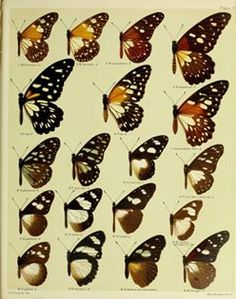 The Biodiversity Heritage Library works collaboratively to make biodiversity literature openly available to the world as part of a global biodiversity community. Flora And Fauna, Nature Prints, Natural World, Rooster, Wings, Butterfly, African, Plates, Illustration