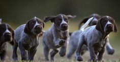 Breeding at the right time would result in a better litter.German Shorthaired Pointers have medium to big litters.Average litter size for GSP is about 8-12 puppies whereas larger and smaller litters are also expected.