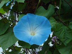 Morning Glory Heavenly Blue - Winter Seed Sowing, Who Knew?
