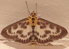 British Moths - Small Magpie - Eurrhypara Hortulata by MickTalbot