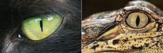 """Eyes of a cat, left, and an American alligator, right. Each animal has a vertical pupil. <a href=""""http://www.nytimes.com/2015/08/08/science/eye-shape-may-help-distinguish-predator-from-prey.html"""">Related Article</a>"""