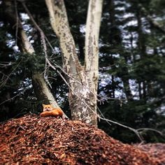 Look who we spotted today! This morning one of our resident red foxes was curled up comfortably on top of our mulch pile. Natural Garden, Foxes, Photo Credit, Acre, Instagram Posts, Plants, Summer, Top, Summer Time