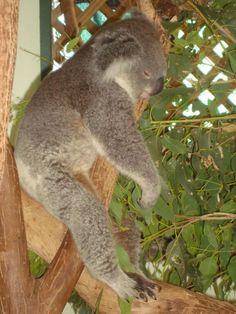 Fall asleep in a tree? Zzz... #sydney #australia