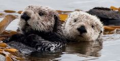 2 of 4 Sea Otter (Enhydra lutris) (marine mammal) Mother with Pup Funny Animal Memes, Funny Dogs, Funny Animals, Cute Animals, Animal Funnies, River Otter, Sea Otter, Otter Love, Otters