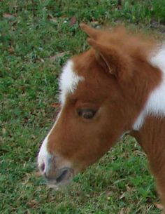 miniature horses for sale - page 205 Miniature Horses For Sale, Cow, Miniatures, Photo And Video, Animals, Animales, Animaux, Cattle, Animal