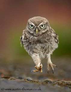 The next Mo Farah? - A baby Little Owl putting in some early training for the next OWLympics...