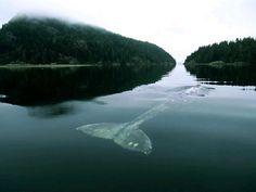 """""""Sua assinatura sonora é claramente ade uma baleia, mas nada como a 'voz normal' de uma baleia-azul ou qualquer uma das espécies maiores pr..."""