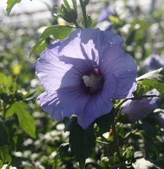 HIBISCUS syr. ULTRAMARINE ® 'Milultra' cov Hibiscus, Plants, Gardens, Plant, Planting, Planets