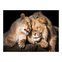 Shop for Masterpiece Art Gallery Lion Love By Belle Maison Canvas Art Print. Get free delivery On EVERYTHING* Overstock - Your Online Art Gallery Store! Animals And Pets, Baby Animals, Cute Animals, Beautiful Cats, Animals Beautiful, Big Cats, Cats And Kittens, Lion Couple, Lion Love