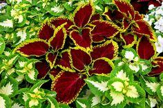 Alegra tu hogar con un cóleo | Cuidar de tus plantas es facilisimo.com