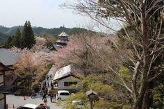 下千本は葉桜です(≧∇≦)
