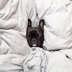 "nudereef: ""dearbeta: "" Floating head Friday #frenchbulldog #frenchie "" PUP """