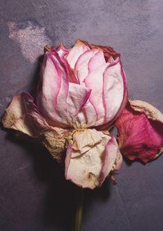 Pressed pale pink rose.