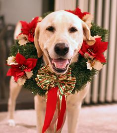 Mind Blowing Facts About Labrador Retrievers And Ideas. Amazing Facts About Labrador Retrievers And Ideas. Merry Christmas, Christmas Dog, Preppy Christmas, White Christmas, Christmas Wreaths, I Love Dogs, Cute Dogs, Wallpapers En Hd, Dog Wreath