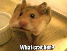 what cracker hamster LOL funny-stuff Funny Animal Jokes, Cute Funny Animals, Funny Animal Pictures, Animal Memes, Cute Baby Animals, Funny Cute, Cute Pictures, Hilarious, Funny Pics